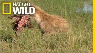 Download See What Happens When Hyenas Take a Lion's Meal | Nat Geo Wild Video