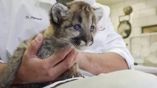 Download Cougar Cub Feeding!   Toledo Zoo Video