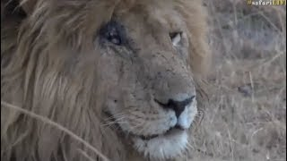 Download Safari Live : James with the King of the Mara Scar Face Male Lion July 31, 2017 Video