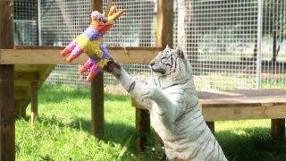 Download BIG Cats VS Piñatas! Video