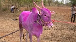 Download Sharyat bulls of Basappa Gondikara sakin Gadigawada Video