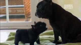 Download Puppy Exhausts Mom | Too Cute! Video