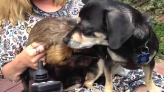 Download Monkey grooming family dog Video