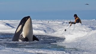 Download Dramatic raw footage of NOAA researchers tagging orcas with cross bows (killer whales) in Antarctica Video