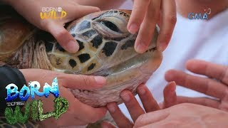 Download Born to Be Wild: Doc Nielsen saves a green sea turtle in critical condition Video