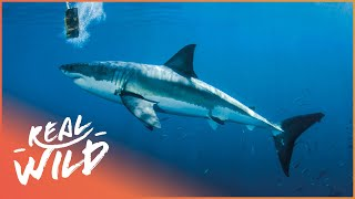 Download Is Shark Baiting Leading To More Shark Attacks? | The Blue Realm | Wild Things Documentary Video