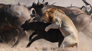 Download 雄狮猎杀落单野牛,野牛王带着牛群赶到狮子险被乱角顶死 Video