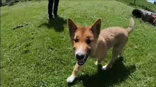 Download This Rare Dingo Pup Literally Fell Out of the Sky Video
