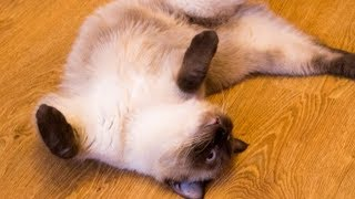 Download Why Cats Lie On Their Backs To Greet You And Other Feline Facts Video