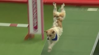 Download Olly the Jack Russell - Crufts 2016 Video