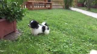 Download Spitz/Malteser Mischlinge welpenvermittlung-hunde.at Video