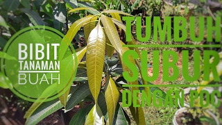 Download pupuk organik cair, Poc untuk pertumbuhan pohon mangga Video
