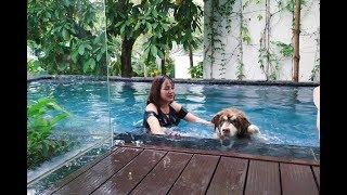 Download Chó Alaska Mật bị đẩy xuồng hồ bơi, đã sợ nước còn bị chủ troll - đi Đại Lải nghỉ mát Part 2 ^^ Video