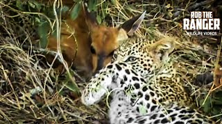 Download The Life Of Leopards - Learning Their Skills Video