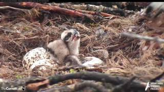 Download First Feeding for Chick #2 in Hellgate – June 5, 2017 Video