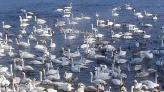 Download Trumpeter Swans at Swan Park Monticello Mn Video