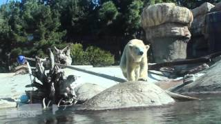 Download Polar Bear Research at San Diego Zoo Video