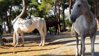Download Adalarda Fayton Atlarını hiç böyle görmediniz │ Heybeliada Video