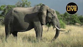 Download safariLIVE - Sunset Safari - April 19, 2019 Video