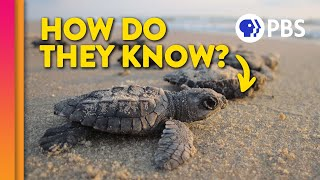 Download How Baby Sea Turtles Find Their Way Home Video