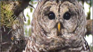 Download BARRED OWL AMAZING VOCALS! Video