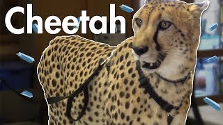 Download We Met a Cheetah and Became Best Friends Video