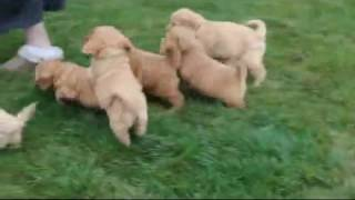 Download Mini Labradoodle Puppies For Sale Video