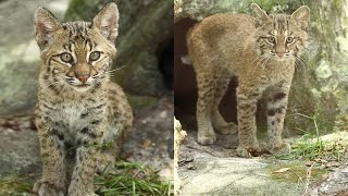 Download Rehab Bobcat Kittens Get Vaccinated Video
