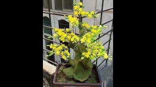 Download Hướng dẫn làm hoa mai pha lê, cách vào cành và lên cây hoa mai. Video