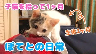Download 子猫を拾って1ヶ月・ぽてとの日常 Video