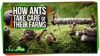 Download How Ants Take Care of Their Farms Video