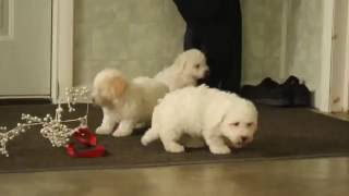 Download Bichon Frise Puppies For Sale Video