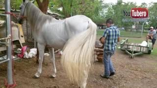 Download [ YOUTUBERO ] Como se herra un caballo en El Salvador Video