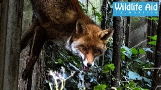 Download Fox dangling from its tail - Wildlife Animal Rescue Video
