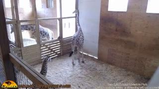 Download Tuesday Giraffe Cam (5-23-17) Video