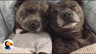 Download Most Pampered Pit Bulls In The World | The Dodo Video