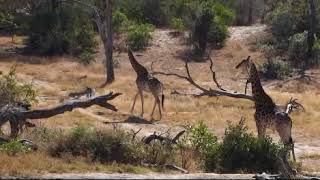 Download Djuma: Giraffes - 07/25/18 Video