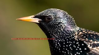 Download A common ″ European Starling ″ singing songs and calling calls Video