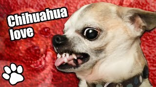 Download Try Not To Laugh Challenge | 36 Angry Chihuahuas #thatpetlife Video