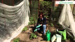 Download Pomidorų sodinimas į šiltnamį | Augink lengviau! Video