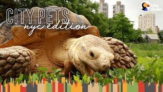 Download Tortoise Lives In Harlem And Hangs Out In Central Park | The Dodo City Pets Video