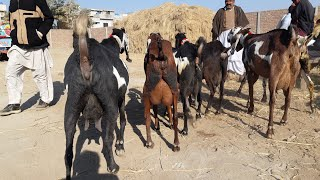 Goat Information by Experts Baba Manzoor in Pakpattan Sharif