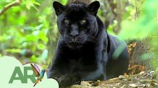 Download ¿Panteras negras en Costa Rica? Video