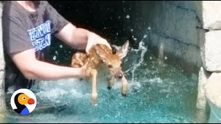 Download Baby Deer Crying Rescued TWICE from Pool | The Dodo Video