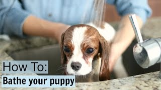 Download How To Safely Bathe a Puppy at home | Dog Tips & Tricks | Milton Cavalier King Charles Video