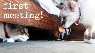 Download Introducing My Cat To A Kitten (Milquetoast Meets Pipsqueak) Video