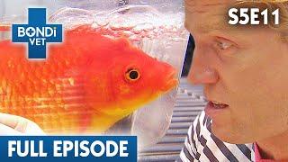 Download 🐟 Famous Goldfish | S05E11 | Bondi Vet Video