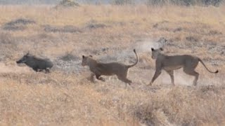 Download Camouflaged Lions Pounce On Warthogs Video