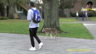 Download UBC Wild Coyote Walking With Students Video