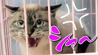 Download 【Jean 028】トラウマ猫ジャンくん野良から家猫へ、3ヶ月のシャーの遍歴 Video